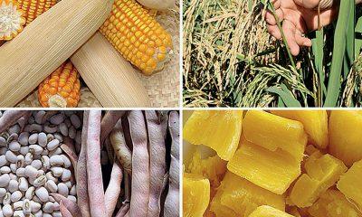 - Milho e Mandioca 400x240 - Pensar País II: Agricultura – Milho e a Mandioca