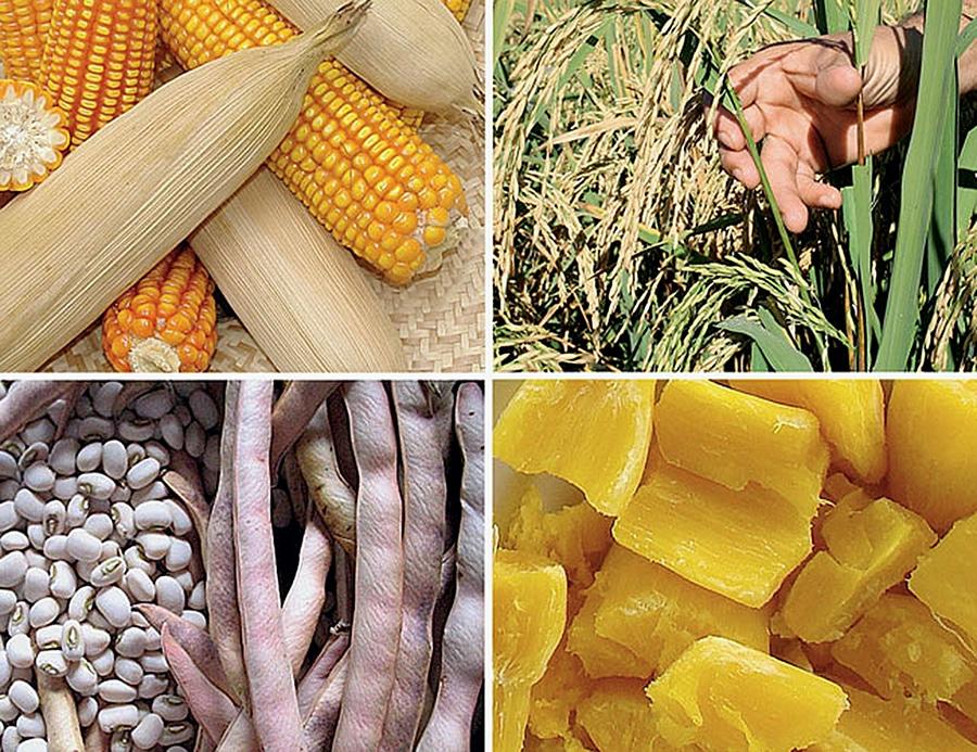 - Milho e Mandioca - Pensar País II: Agricultura – Milho e a Mandioca